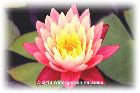 Watergarden Paradise Aquatic Nursery Hardy Waterlilies