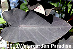 Colocasia esculenta cv. 'Black Magic'