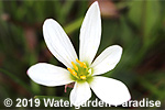 Zephyranthes candida - Storm Lily